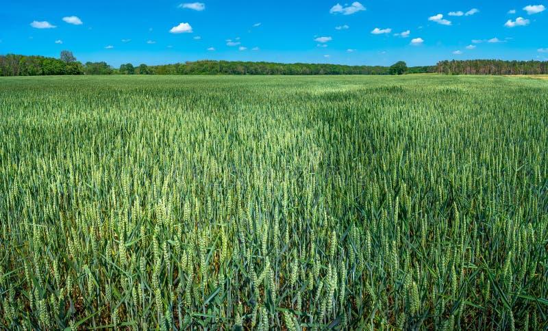 绿色麦田美好的农厂风景全景晚春,开始夏天在欧洲 免版税库存图片