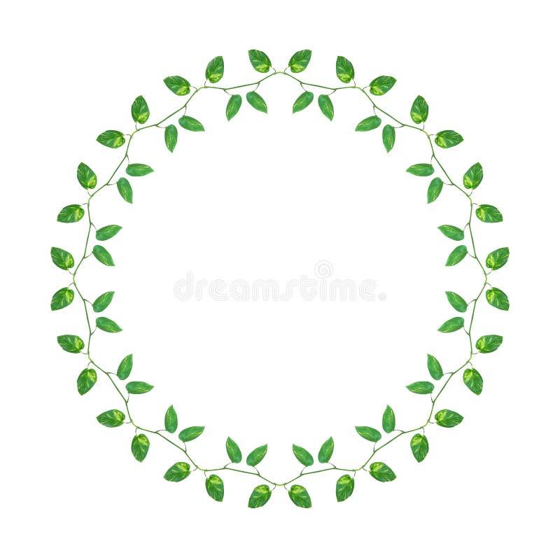 绿色黄色链子留给藤恶魔` s常春藤或金黄pothos 皇族释放例证