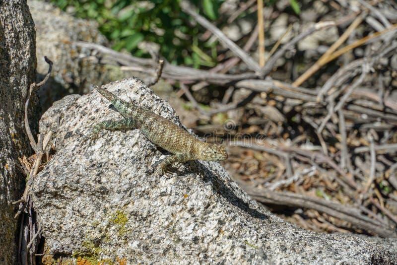 绿色黄褐色镶边蜥蜴坐一个黄色granit岩石在阳光下 免版税库存图片