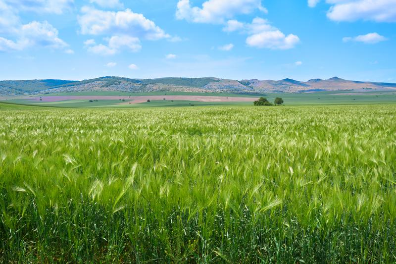 绿色黑麦领域在Macin山,多布罗加,图尔恰,罗马尼亚附近的春天5月,有在距离和少量偏僻的树的小山的 免版税库存图片