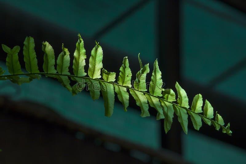 绿色fren有阳光的叶子 库存照片