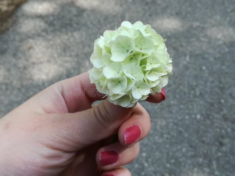 绿色hortenzia一点boquet  免版税库存照片