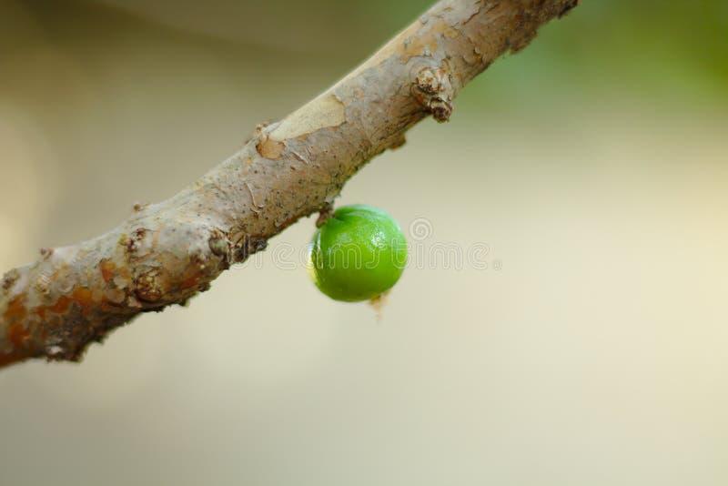 绿色Jaboticaba 库存图片