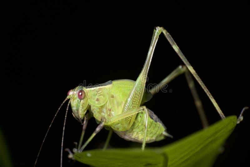 绿色katydid在巴布亚新几内亚 免版税图库摄影