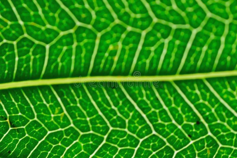 绿色Peepal叶子静脉宏观细节  免版税库存照片