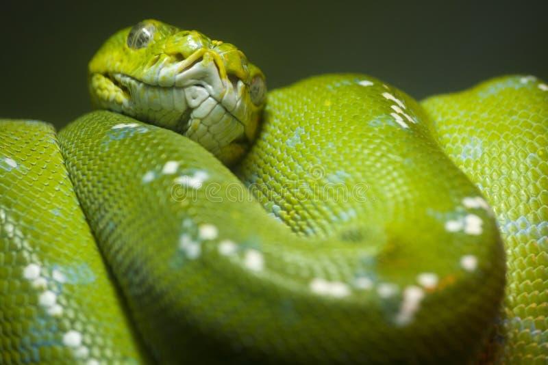 绿色Python嘎吱嘎吱的响声蛇 图库摄影