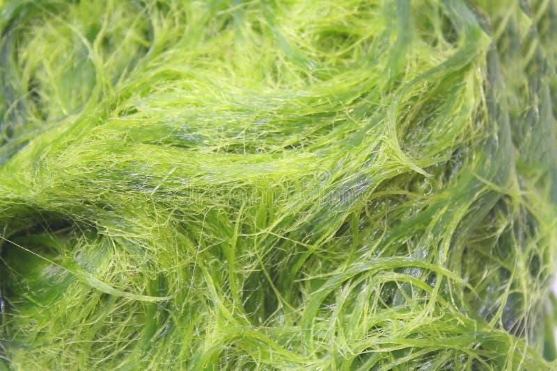 绿色spirogyra是淡水海藻有非常高钙,并且β -胡萝卜素,使用为烹调,这是普遍的在北部和 库存图片