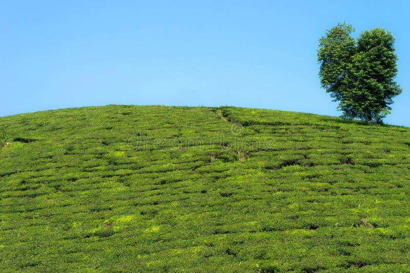 绿茶与大树的种植园小山 库存照片