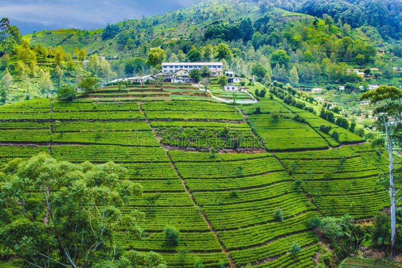 绿茶种植园在斯里兰卡 库存图片