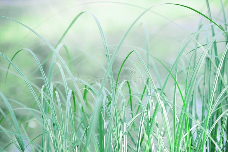 绿草叶子在草甸 夏天晚上、轻风和镇静大气 免版税库存照片