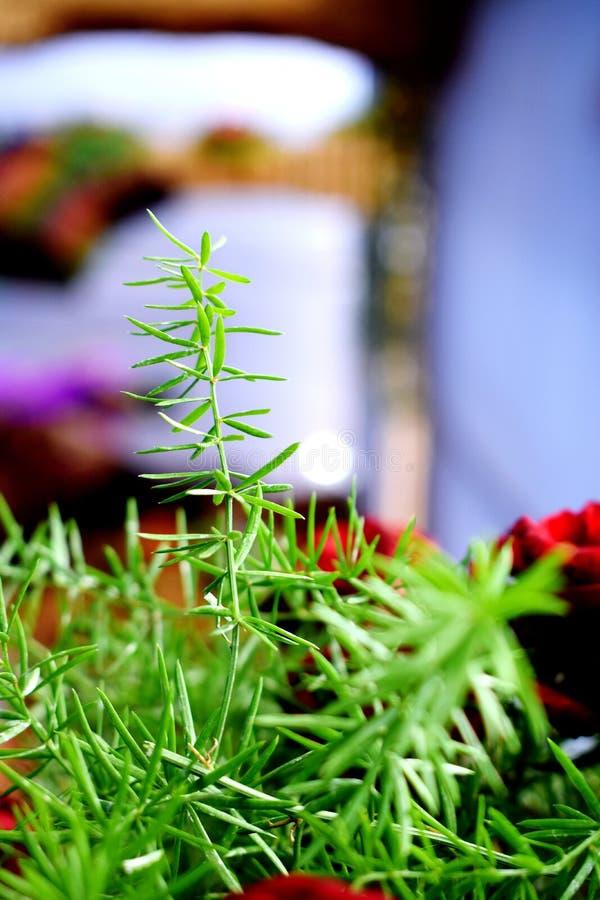 绿草和它的花美丽的短冷期  免版税库存照片