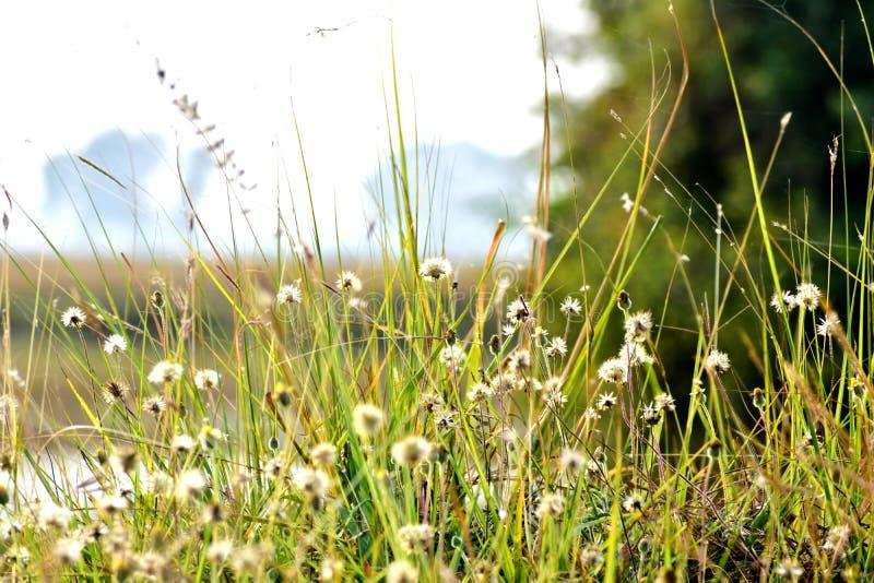绿草和它的花美丽的短冷期  库存图片