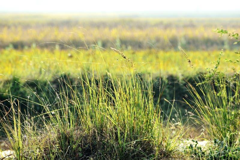 绿草和它的花美丽的短冷期  图库摄影