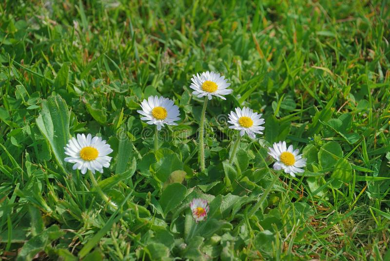 绿草和雏菊 库存图片