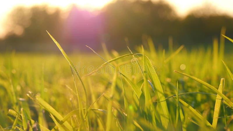 绿草在日落期间的草坪特写镜头 在领域的麦芽 库存照片