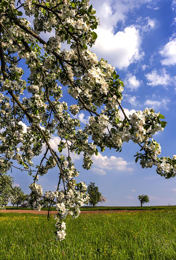 绿草甸上开花的苹果树 图库摄影