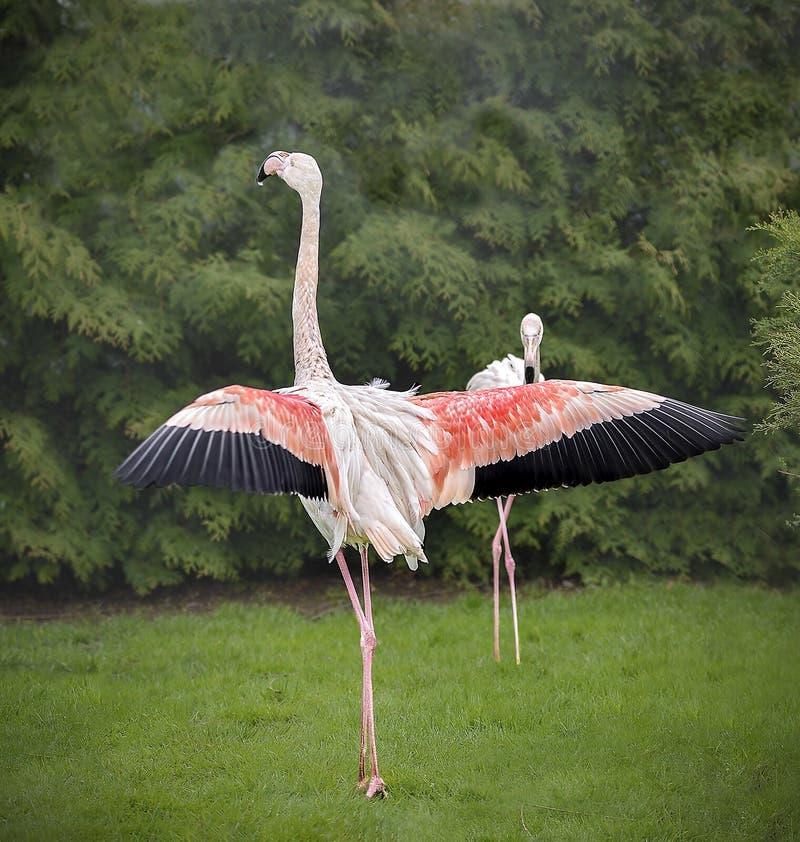 绿草背景中的火烈鸟 免版税库存照片