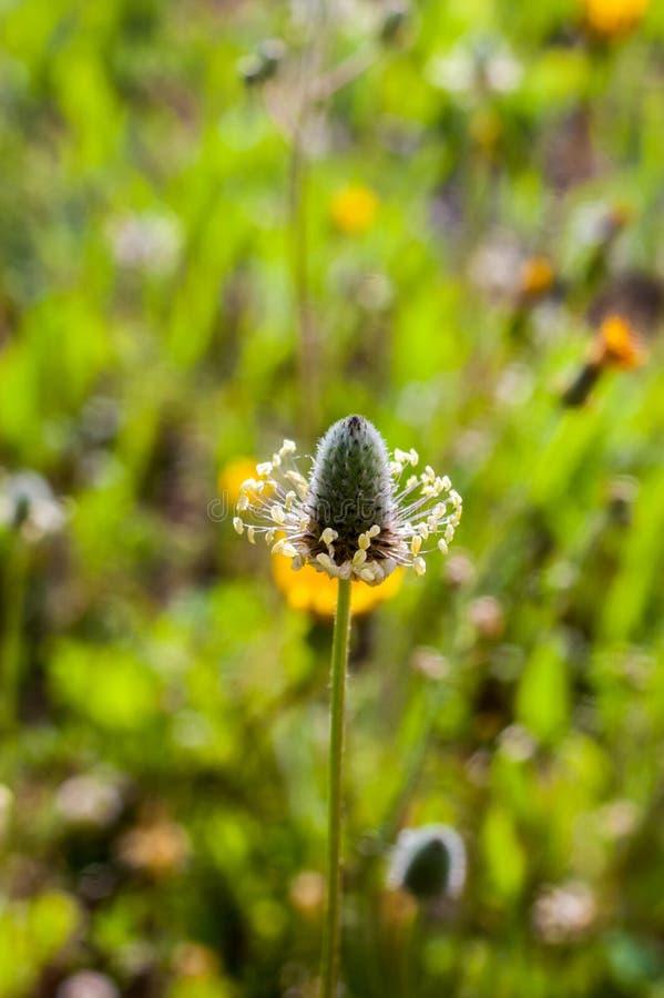 绿草背景药用植物花卉的细节特写 库存照片