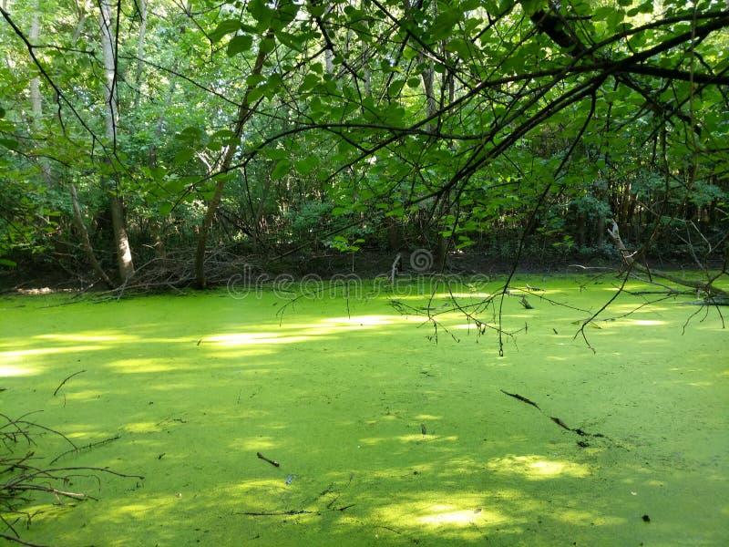 绿藻类浮渣剥皮池塘 免版税库存照片