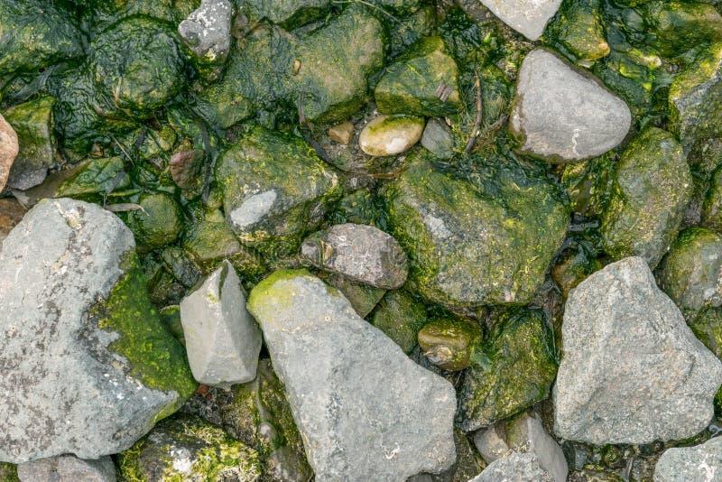 绿藻类 图库摄影