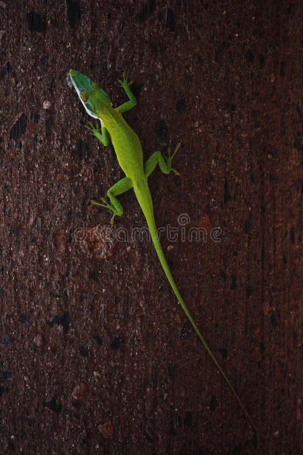 绿蜥蜴 免版税库存照片