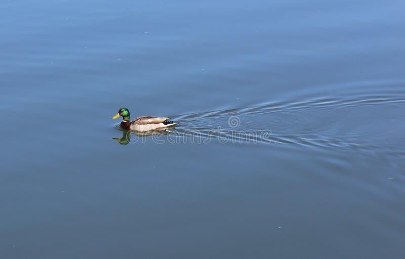 绿鸭游泳 免版税库存图片