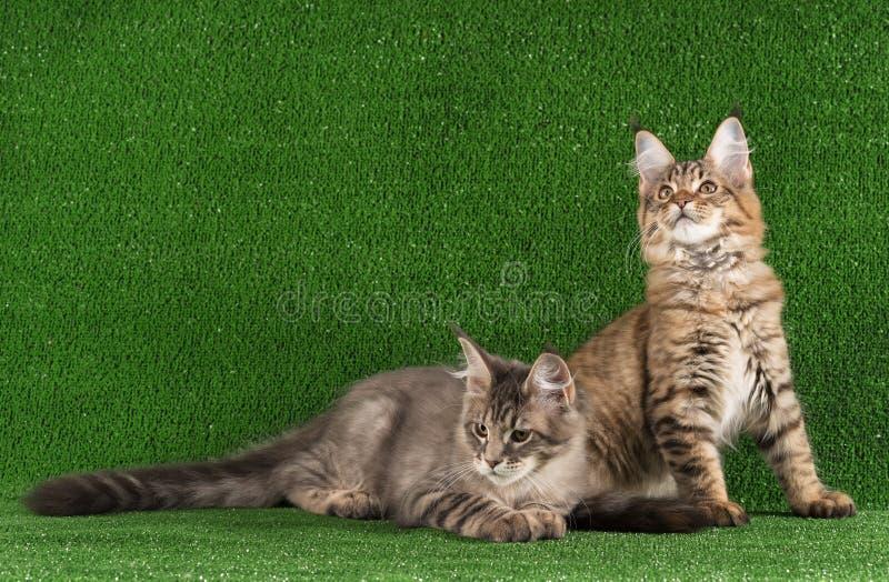 缅因·科恩小猫 免版税库存图片