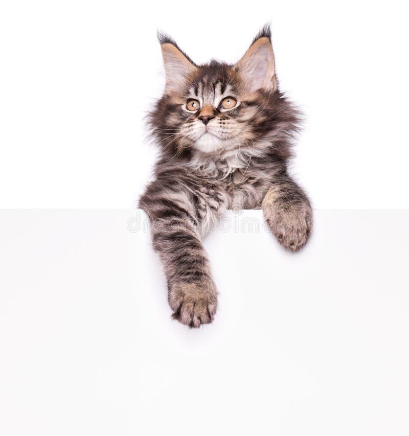 缅因与空白的浣熊小猫 免版税库存照片