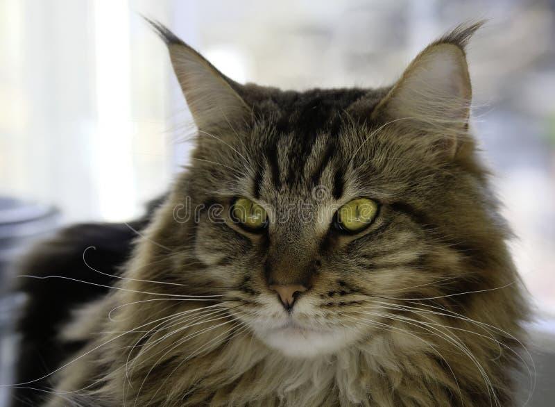 缅因与美丽的眼睛的树狸猫 免版税库存照片