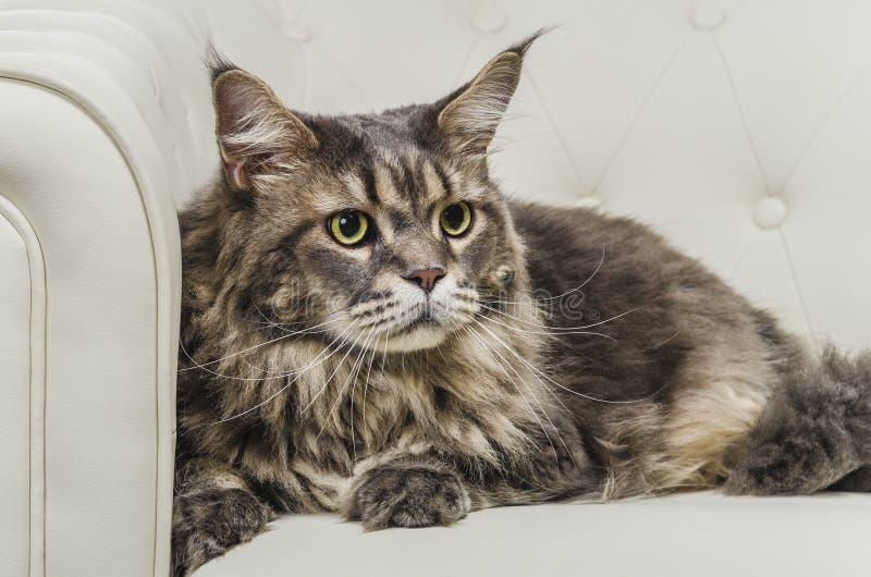 缅因在白色沙发特写镜头神色右边的树狸猫就座 免版税库存图片