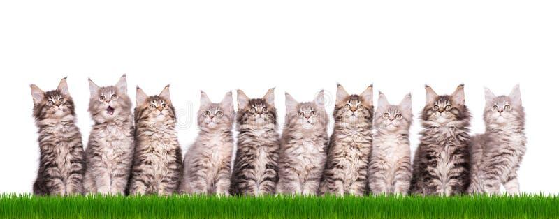 缅因在草的浣熊小猫 库存照片