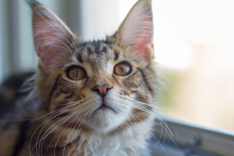缅因浣熊小猫的图片坐窗台在一个开窗口附近 库存照片