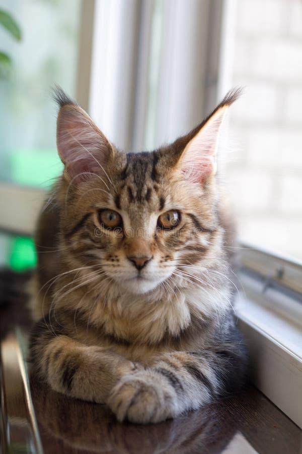 缅因浣熊小猫的图片坐窗台在一个开窗口附近 免版税库存照片