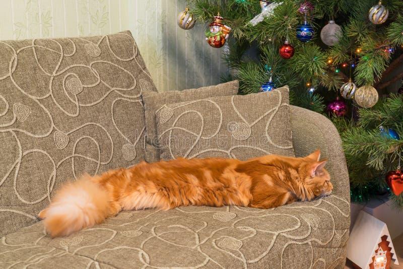 缅因睡觉在t的沙发的浣熊品种逗人喜爱的幼小红色猫  免版税库存照片