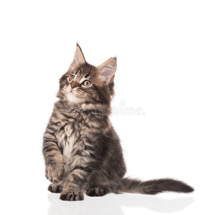 缅因科恩小猫 库存图片