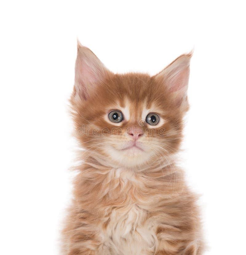 缅因科恩小猫 免版税库存图片