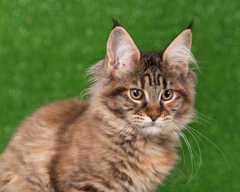 缅因科恩小猫 库存照片
