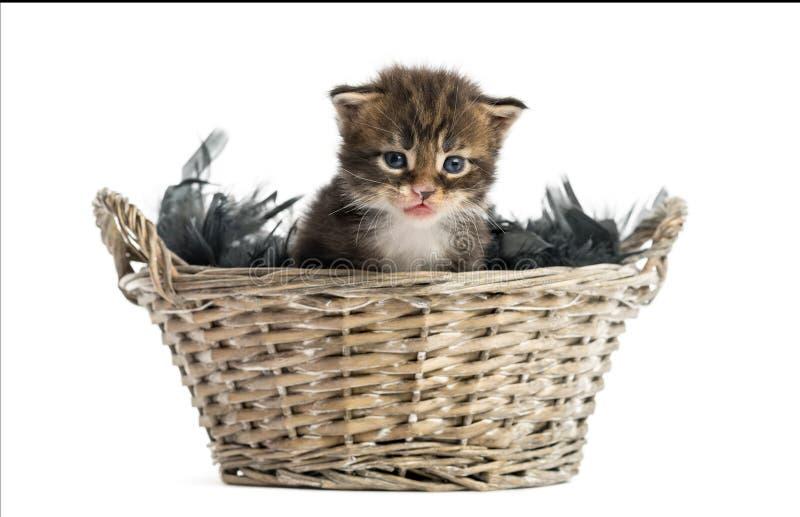 缅因从宠物篮子出来的浣熊小猫 免版税库存图片
