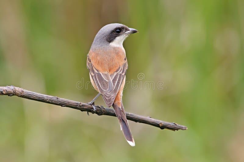 Download 缅甸人伯劳拉尼厄斯泰国的collurioides鸟 库存照片. 图片 包括有 题头, 绿色, 五颜六色, 栖所 - 72355424
