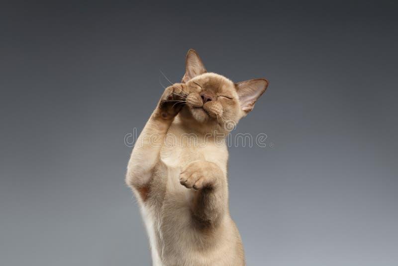 缅甸猫爪子在灰色的口鼻部盖子 库存图片