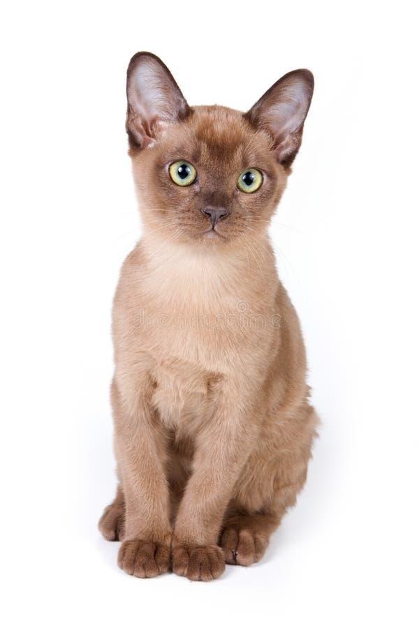 缅甸的小猫 库存图片