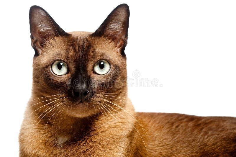 缅甸的猫 免版税库存图片