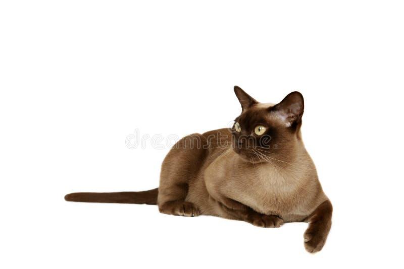 缅甸的猫 免版税图库摄影