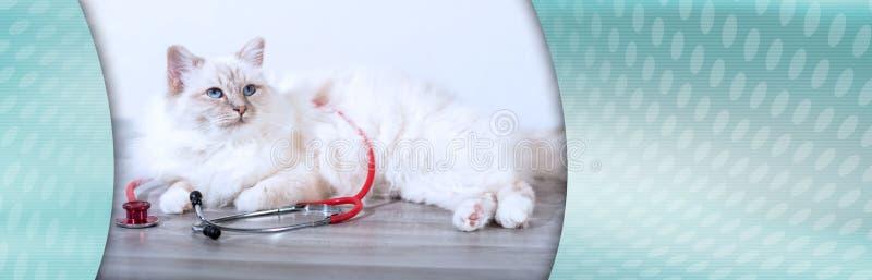 缅甸的美丽的神圣的猫有听诊器的;全景横幅 免版税库存照片