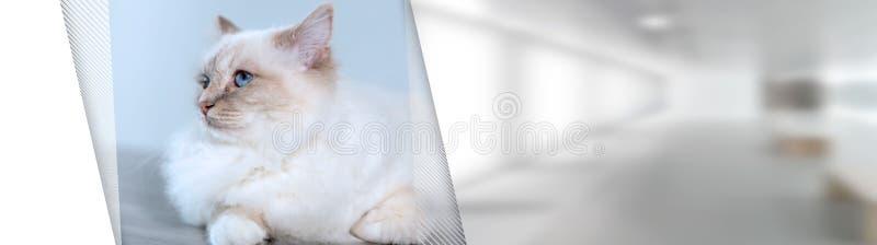 缅甸的美丽的神圣的猫画象;全景横幅 库存照片