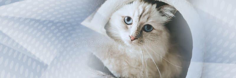 缅甸的美丽的神圣的猫画象  r 免版税库存图片