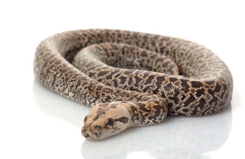缅甸的granit Python 免版税库存图片