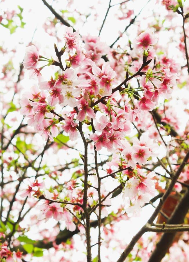 编组在天元寺庙的新开花桃红色佐仓,台湾 库存图片
