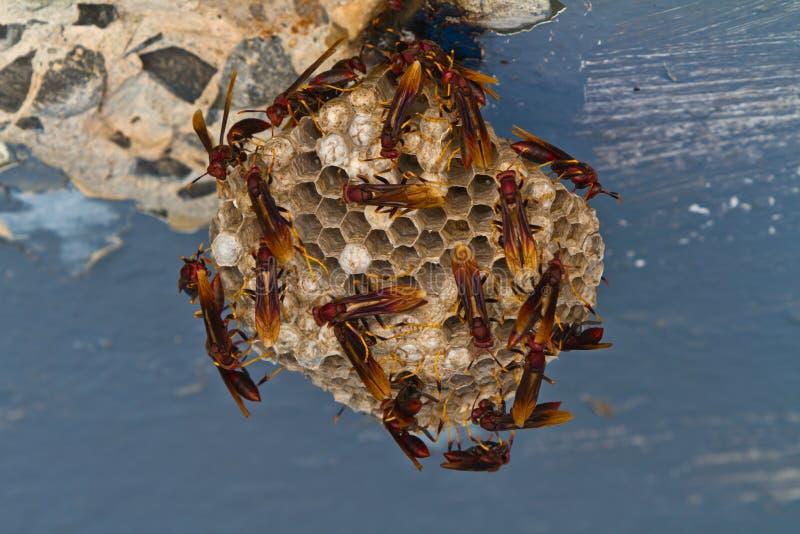 编译嵌套的红色纸质黄蜂。 免版税图库摄影