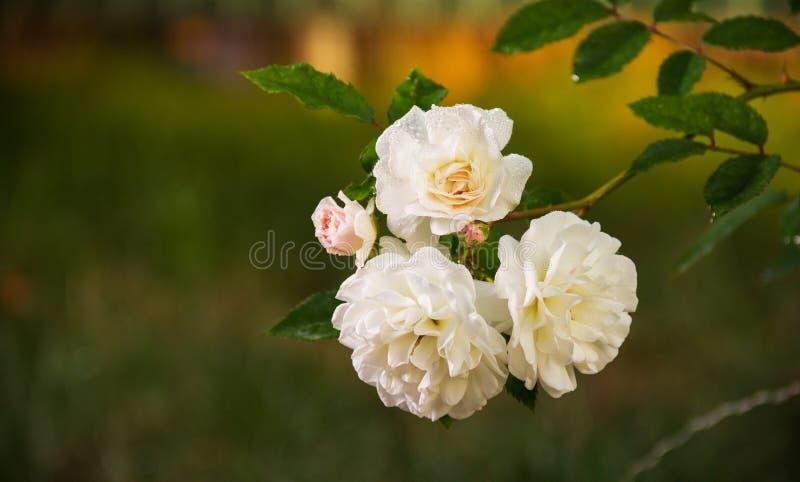编织的白色小玫瑰 分支与在自然绿色背景的白玫瑰 免版税库存照片